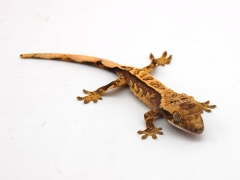 Crested_Gecko_21_pic1