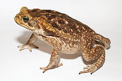live in cairns - living in cairns - cane toads in cairns